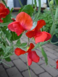 lathyrus odoratus royal red