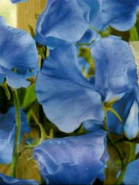 lathyrus odoratus danny blue