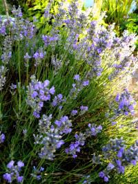 lavandula angustifolia lavendel