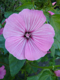 lavatera trimestris patio pink