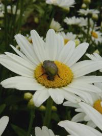leucanthemum superbum maximum margriet