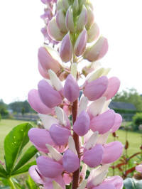 lupinus gallery pink - lupine