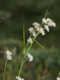 luzula nivea - grote veldbies