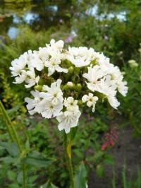 lychnis chalcedonica alba
