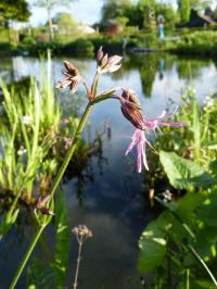 lychnis flos-cuculi - echte koekoeksbloem