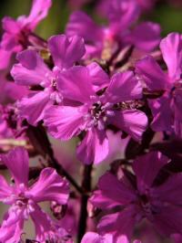 lychnis yunnanensis - koekoeksbloem