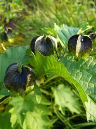 nicandra physalodes black pod zegekruid