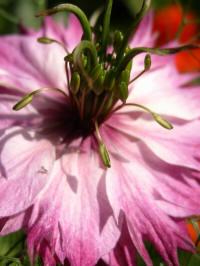nigella damescena mulberry rose