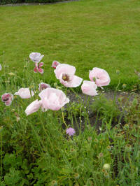 papaver rhoeas shirley mixed