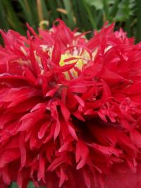 papaver paeoniflorum red pompon