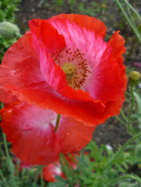 papaver rhoeas angels choir klaproos