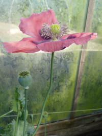 papaver somniferum gentle