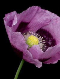 papaver somniferum hungarium blue