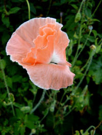 papaver shirley mixed