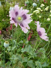 papaver somniferum twirl lilac