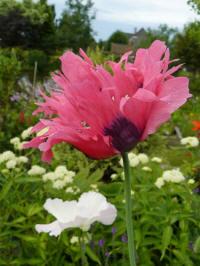 papaver somniferum twirl pink