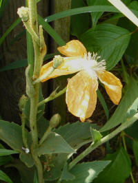 papaver spicatum