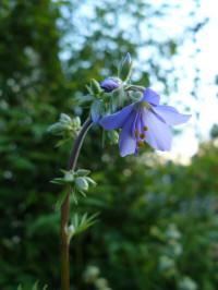 polemonium pulchellum blue master