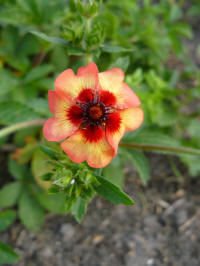 potentilla nepalensis master floris