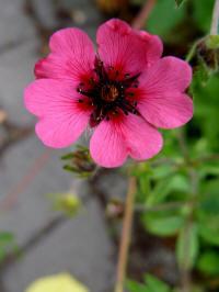 potentilla nepalensis helen jane