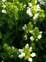prunella laciniata alba
