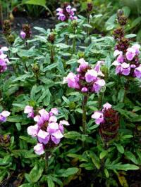 prunella laciniata rosea