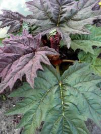 rheum palmatum atrosanguineum