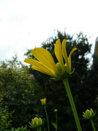 rudbeckia nitida herbstsopnne