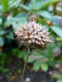salvia columbariae seedpod, zaaddoos