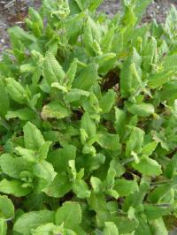 salvia nemorosa blad leaf
