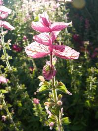 salvia viridis pink swan