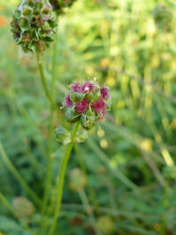 sanguisorba minor kleine pimpernel