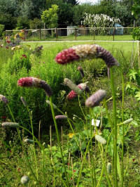 sanguisorba officinalis rock and roll