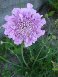 scabiosa columbaria pink mist