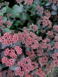 Sedum telephium spp. maximum