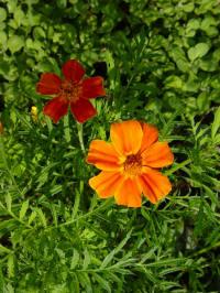 tagetes tenuifolia 'sterafrikaantje'