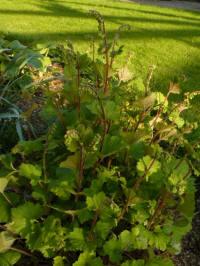 tellima grandiflora rubra mijterloof