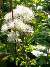 thalicatrum aquilegiofolium album