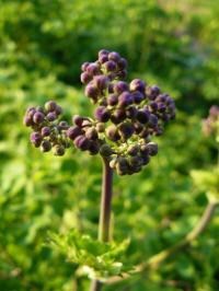 thalictrum aquilegifolium atropurpureum aanvang bloei