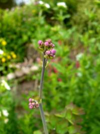 thalictrum reniforme begin bloei