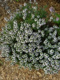 thymus serpyllum - kruiptijm