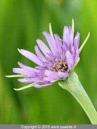 tragopogon porrifolius - paarse morgenster
