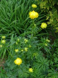 trollius lemon queen kogelbloem