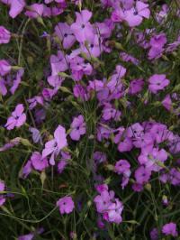 vaccaria hispanica - roze koekruid