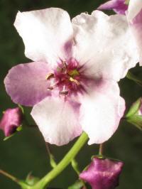 verbascum phoeniceum rosea