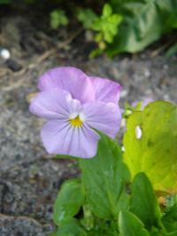 viola cornuta sorbet lilac ice