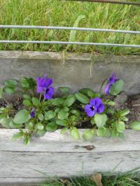 viola cornuta purple showers, hoornviooltje