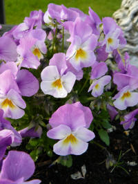 viola cornuta starry night