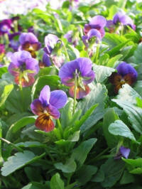 viola cornuta tombola bronze purple