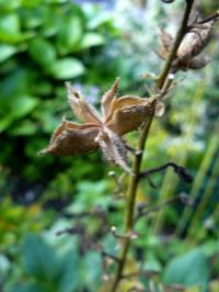 zaaddoos dictamnus albus albiflorus vuurwerkplant